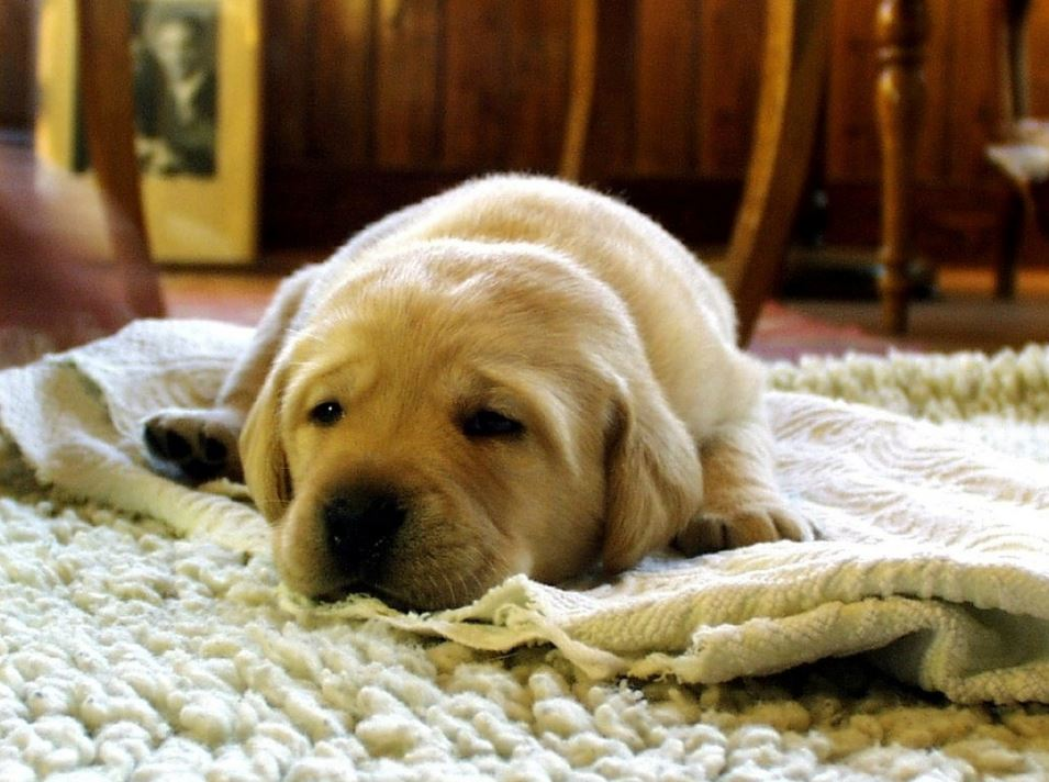 puppy sleeping on a white rug